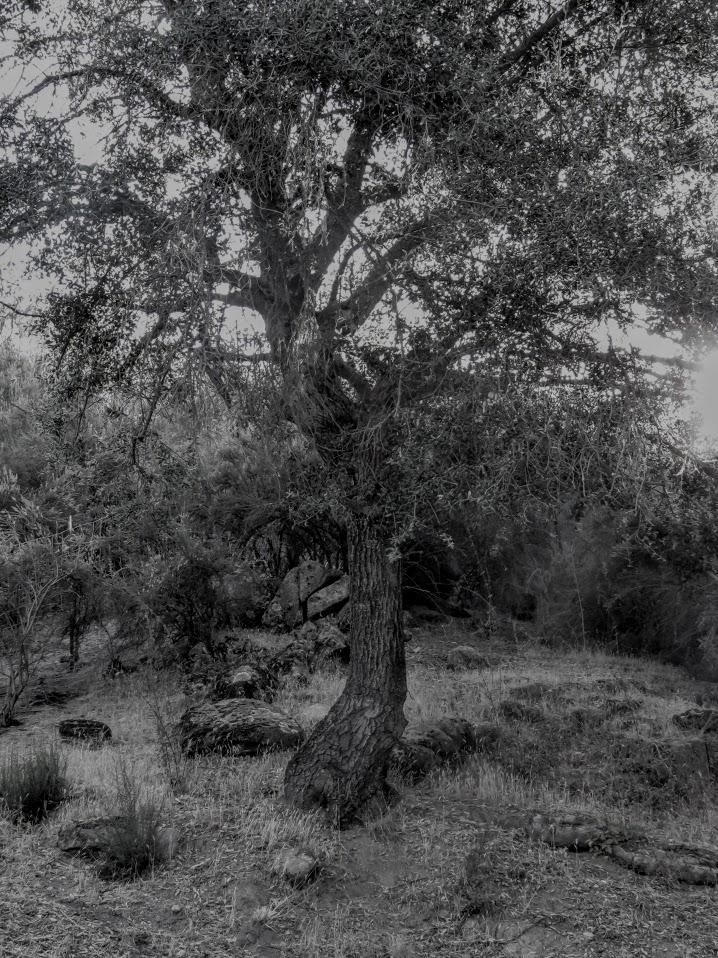 oak tree 7-15-18