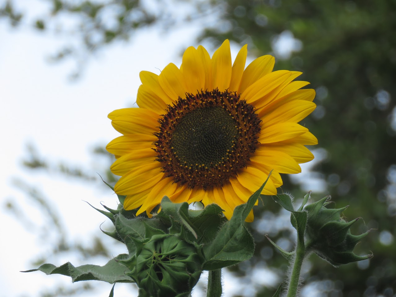 sunflower in morning