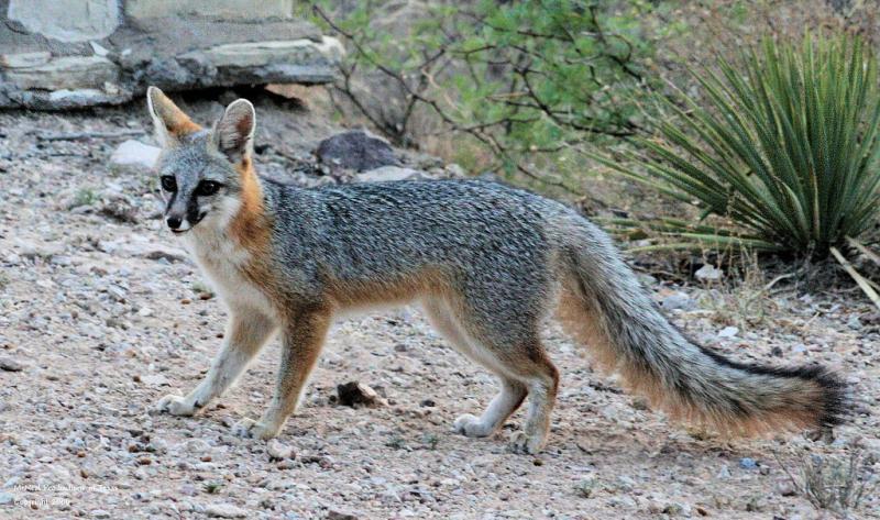 gray-fox1