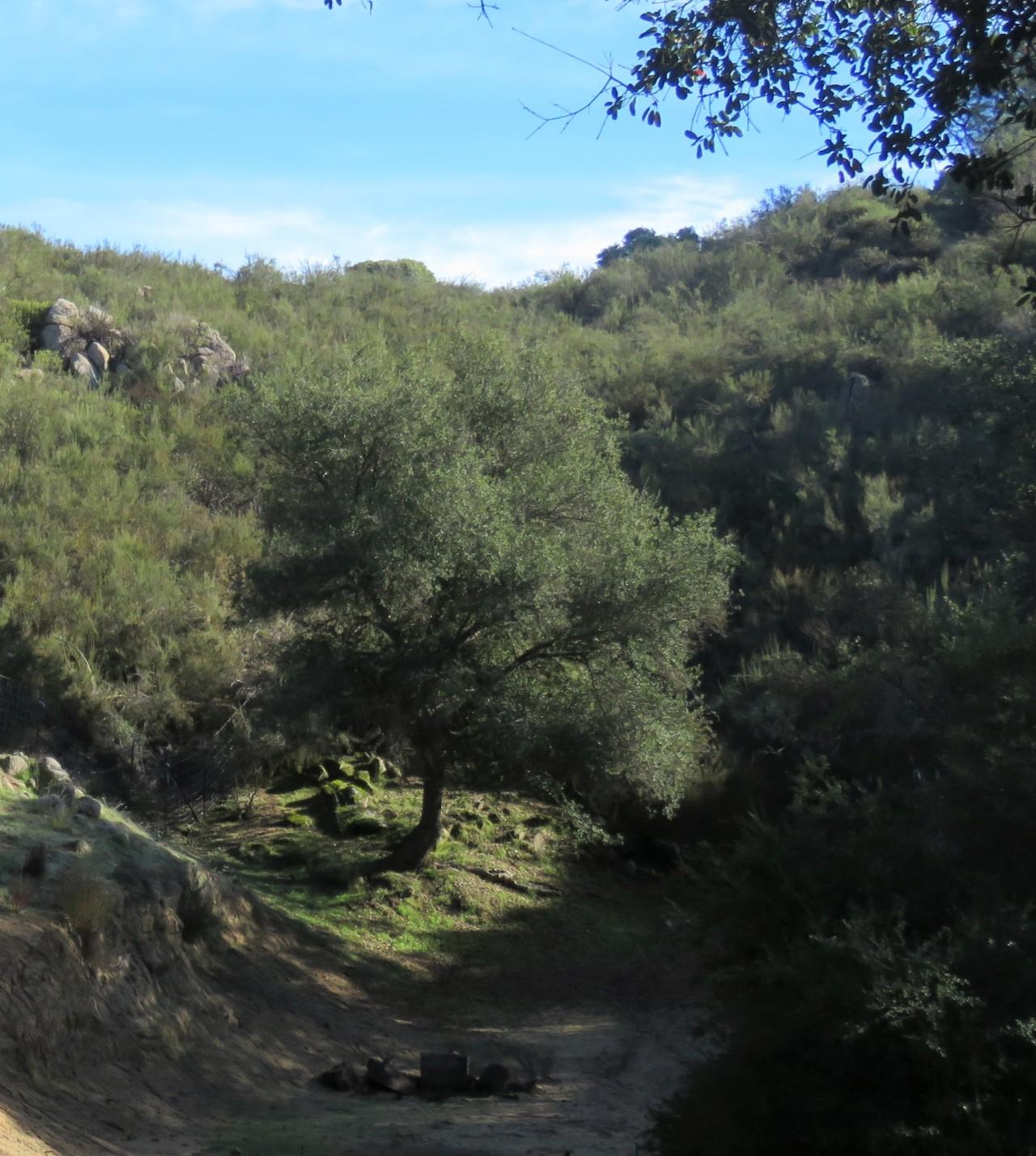 oak tree4